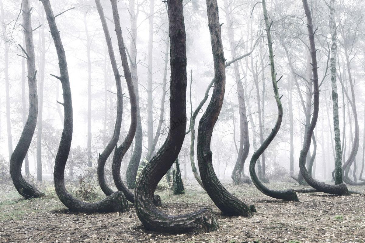 Кривий ліс